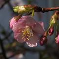 Photos: 桜_土浦 F4535