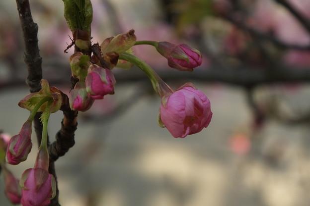 Photos: 桜_土浦 F4534
