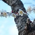 Photos: 白梅_公園 F4524