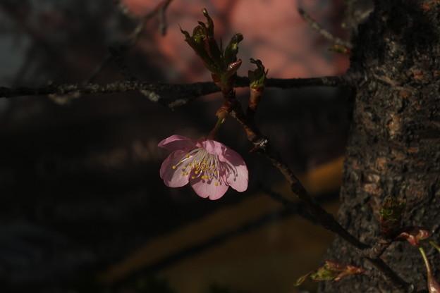 桜_土浦 F4539