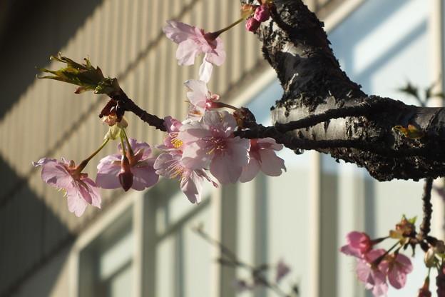 桜_土浦 F4538