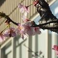 Photos: 桜_土浦 F4538