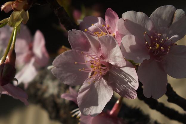 桜_土浦 F4536