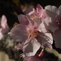 Photos: 桜_土浦 F4536