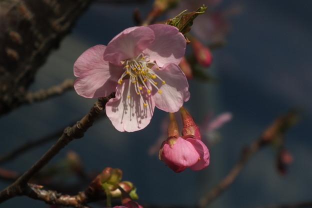 Photos: 桜_土浦 F4537