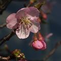 桜_土浦 F4537