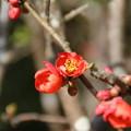 Photos: 木瓜_散歩道 D7828