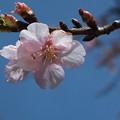 桜_散歩道 F4577