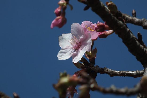 桜_散歩道 F4578