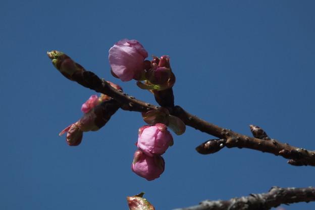 桜_散歩道 F4579