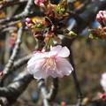 桜_散歩道 F4581