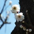Photos: 白梅_散歩道 F4587