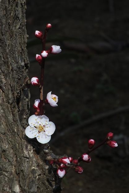 Photos: 白梅_散歩道 F4590