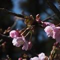 桜_散歩道 F4597
