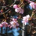 桜_散歩道 F4598