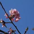 桜_散歩道 D7851