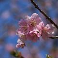 桜_散歩道 D7857