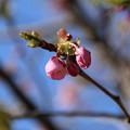 桜_散歩道 D7861