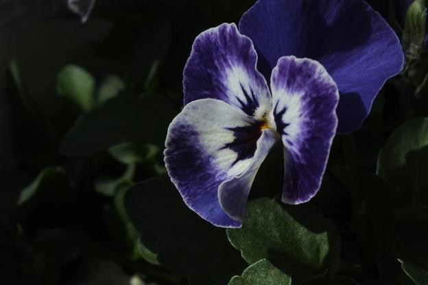 ビオラ_花壇 F4632
