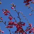 Photos: 桜_公園 D7885
