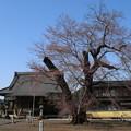 桜_歓喜寺 D7889