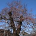 桜_歓喜寺 D7891