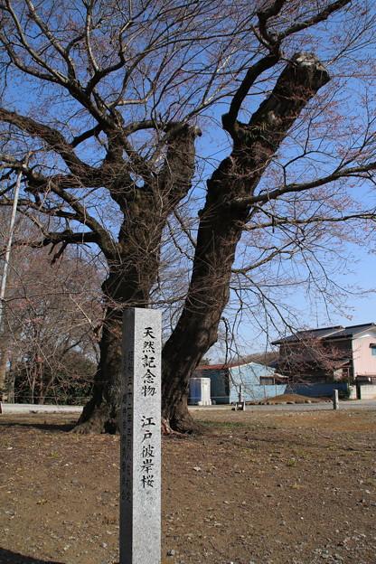桜_歓喜寺 D7892