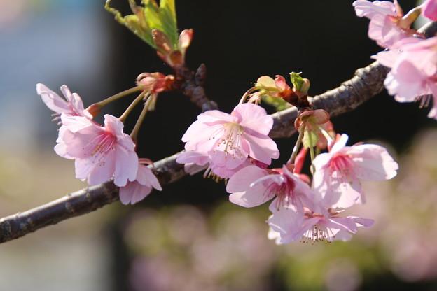 桜_歓喜寺 D7903
