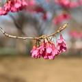 桜_公園 D7922