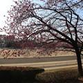桜_公園 D7921
