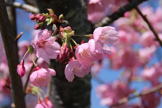 桜_常総市 D7943