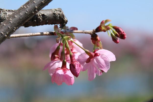 桜_常総市 D7945