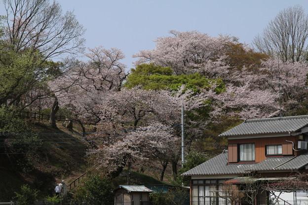 桜_公園 D7982