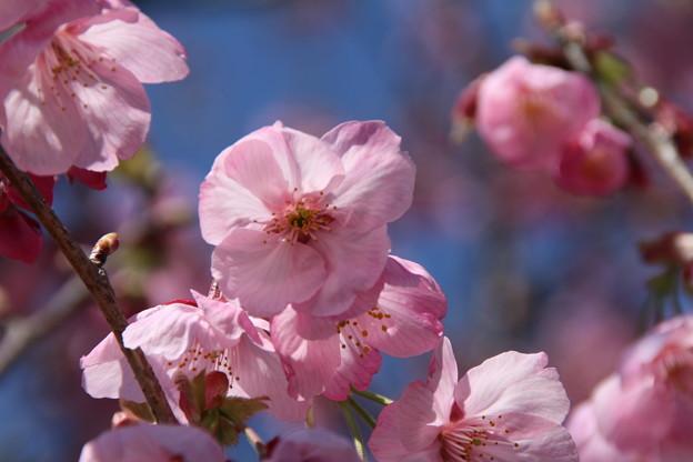 桜_常総市 D7947