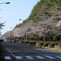 桜並木_筑波学園 D7952