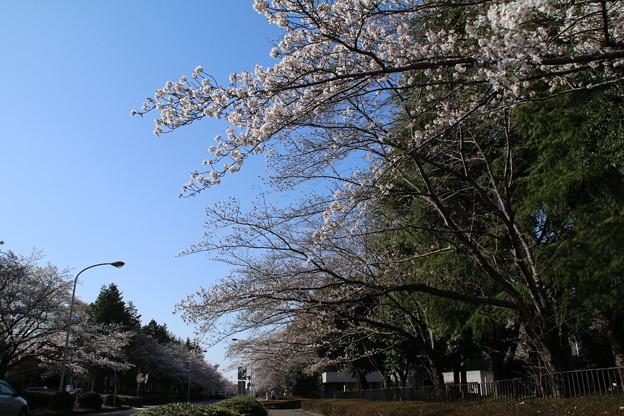桜並木_筑波学園 D7949