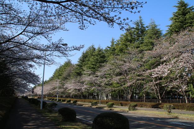 桜並木_筑波学園 D7954