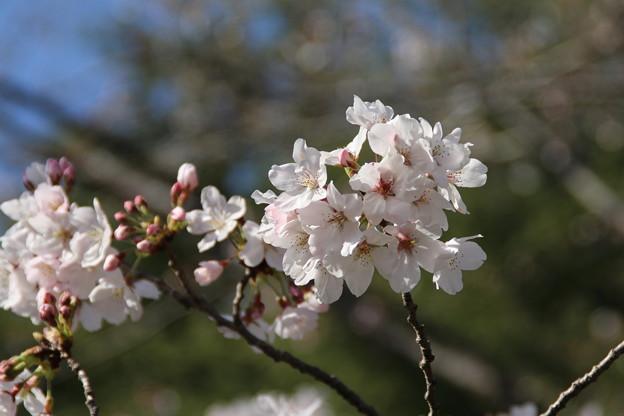 桜_筑波学園 D7956