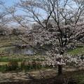 Photos: 桜_公園 D7961