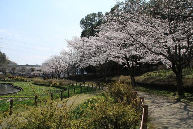 桜_公園 D7964