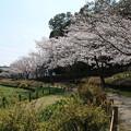 Photos: 桜_公園 D7964