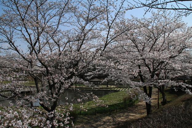 桜_公園 D7962