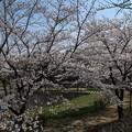 Photos: 桜_公園 D7962