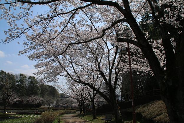 桜_公園 D7967