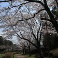 Photos: 桜_公園 D7967