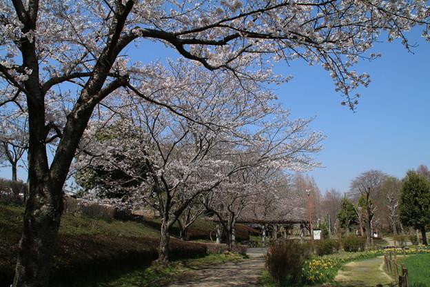 桜_公園 D7968