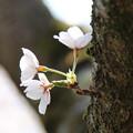 桜_公園 D7969