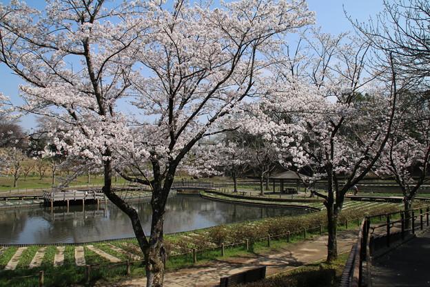 桜_公園 D7971