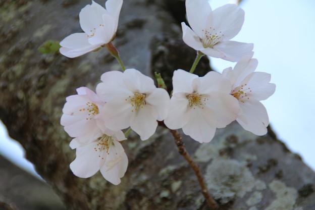 桜_公園 D7970