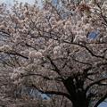 桜_公園 D8024